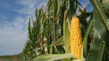 Maize Farming